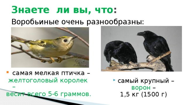 Знаете ли вы, что : Воробьиные очень разнообразны: самая мелкая птичка –  желтоголовый королек – весит всего 5-6 граммов. самый крупный –  ворон – 1,5 кг (1500 г)