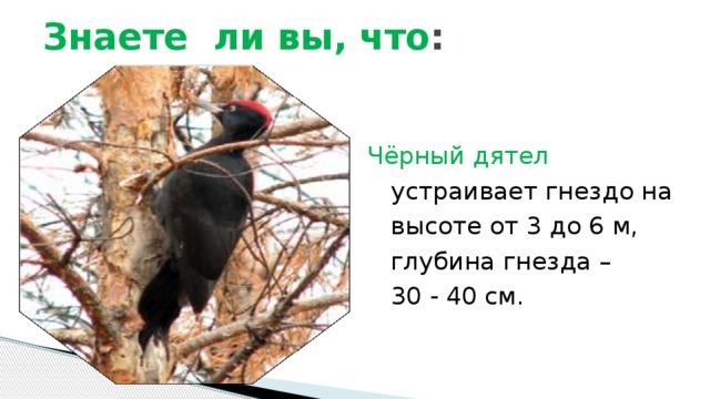 Знаете ли вы, что : Чёрный дятел  устраивает гнездо на высоте от 3 до 6 м, глубина гнезда –  30 - 40 см.