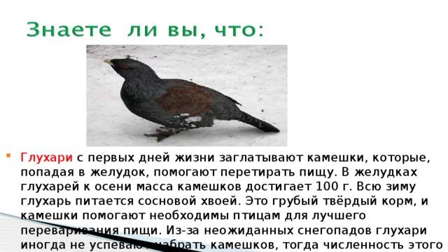 Глухари с первых дней жизни заглатывают камешки, которые, попадая в желудок, помогают перетирать пищу. В желудках глухарей к осени масса камешков достигает 100 г. Всю зиму глухарь питается сосновой хвоей. Это грубый твёрдый корм, и камешки помогают необходимы птицам для лучшего переваривания пищи. Из-за неожиданных снегопадов глухари иногда не успевают набрать камешков, тогда численность этого вида сильно уменьшается.