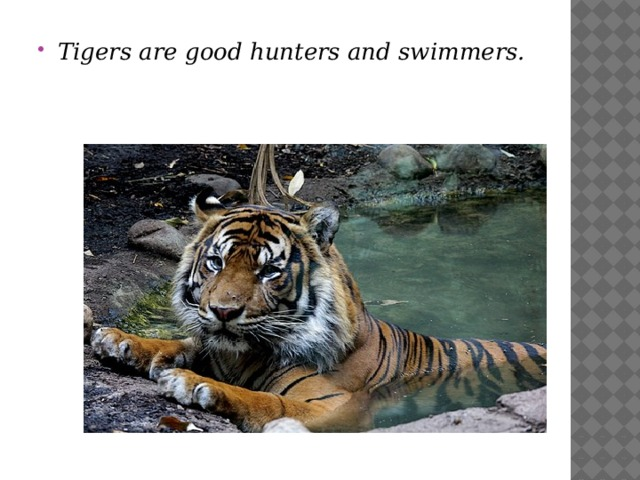 Tigers are good hunters and swimmers.