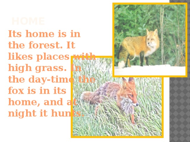 Home Its home is in the forest. It likes places with high grass. In the day-time the fox is in its home, and at night it hunts.