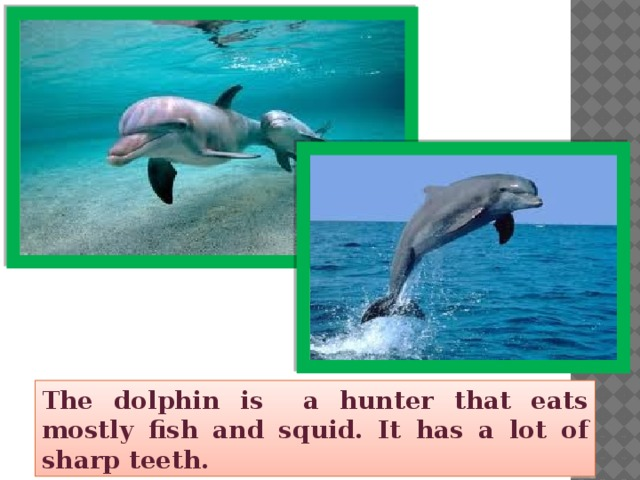 The dolphin is a hunter that eats mostly fish and squid. It has a lot of sharp teeth.
