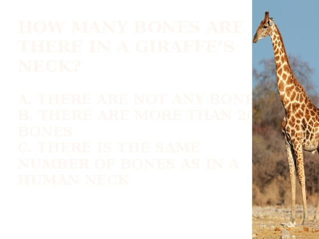 How many bones are there in a giraffe's neck?   A. There are not any bones  b. There are more than 20 bones  c. there is the same number of bones as in a human neck