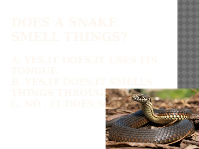 Does a snake smell things?   A. Yes,it does.It uses its tongue  b. Yes,it does.It smells things through its skin  c. No , it does not