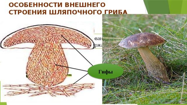 Особенности внешнего строения шляпочного гриба  Грибы состоят из гифов Гифы— нитевидное образование угрибов, состоящее из многихклетокили содержащее множествоядер . Гифы