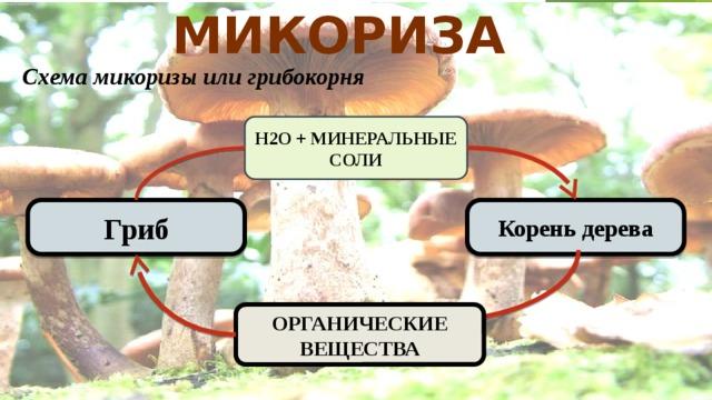 Микориза  Схема микоризы или грибокорня Н2О + МИНЕРАЛЬНЫЕ СОЛИ Корень дерева Гриб ОРГАНИЧЕСКИЕ ВЕЩЕСТВА