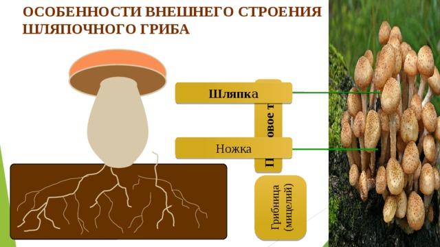 Особенности внешнего строения шляпочного гриба Ножка Шляпк а Плодовое тело Грибница (мицелий)