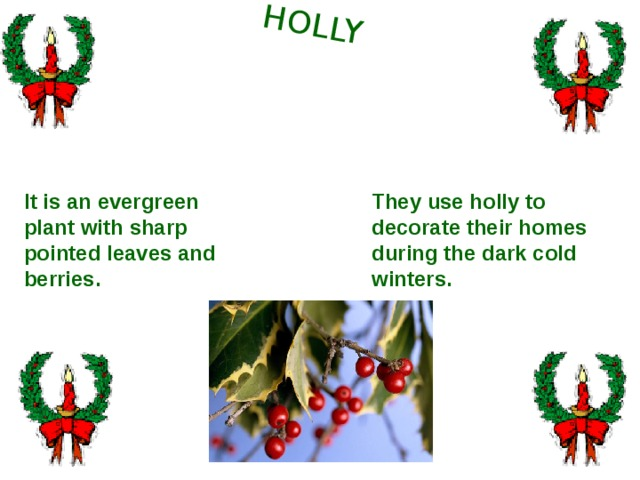 HOLLY They use holly to decorate their homes during the dark cold winters. It is an evergreen plant with sharp pointed leaves and berries.