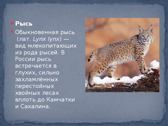 Рысь Обыкновенная рысь  (лат. Lynx lynx ) — вид млекопитающих из родарысей. В России рысь встречается в глухих, сильно захламлённых перестойных хвойных лесах вплоть до Камчатки и Сахалина.
