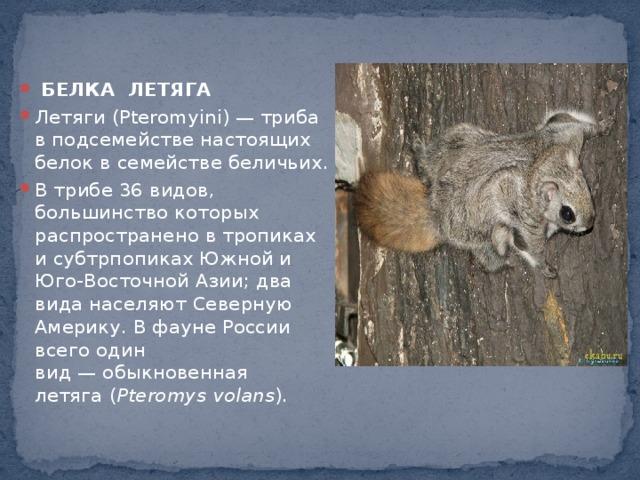 БЕЛКА ЛЕТЯГА Летяги(Pteromyini) — триба в подсемействе настоящих белок в семействебеличьих. В трибе 36 видов, большинство которых распространено в тропиках и субтрпопиках Южной и Юго-Восточной Азии; два вида населяют Северную Америку. В фауне России всего один вид—обыкновенная летяга( Pteromys volans ).