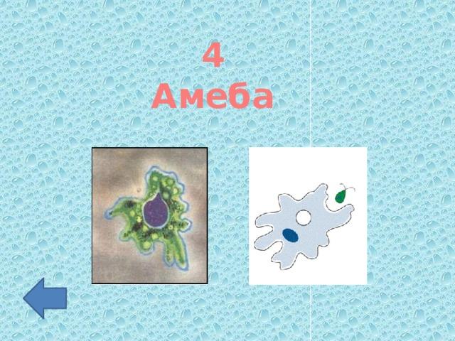 4 Амеба
