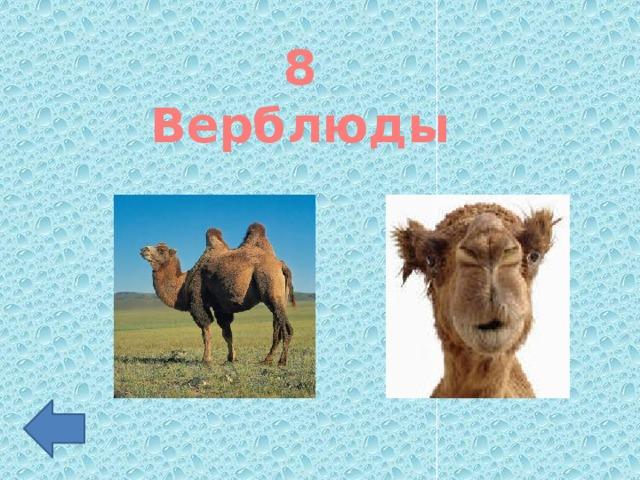 8 Верблюды