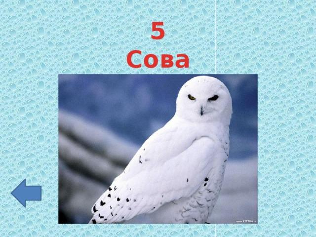 5 Сова