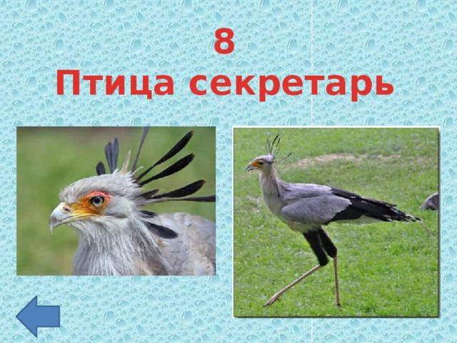 8 Птица секретарь