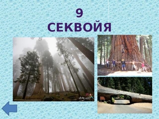 9 секвойя