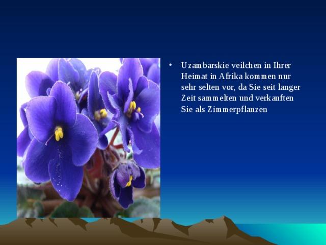 Uzambarskie veilchen in Ihrer Heimat in Afrika kommen nur sehr selten vor, da Sie seit langer Zeit sammelten und verkauften Sie als Zimmerpflanzen