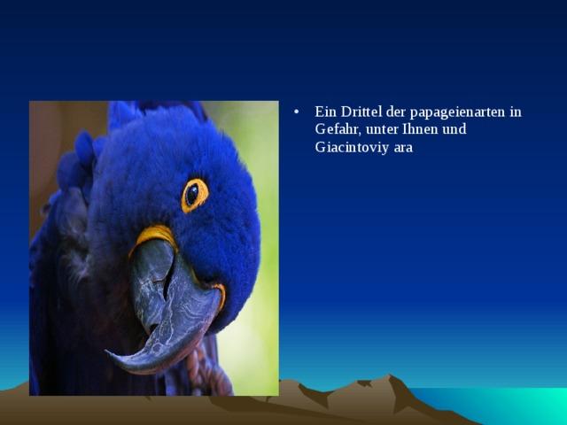 Ein Drittel der papageienarten in Gefahr, unter Ihnen und Giacintoviy ara
