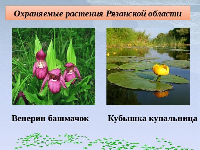 Охраняемые растения Рязанской области Венерин башмачок Кубышка купальница