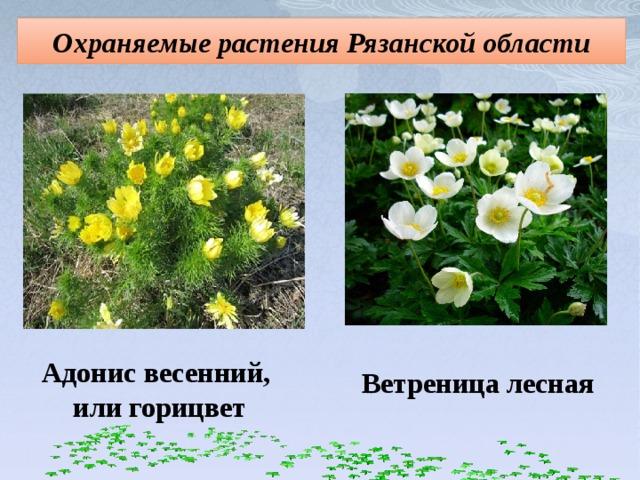 Охраняемые растения Рязанской области Адонис весенний,  или горицвет Ветреница лесная