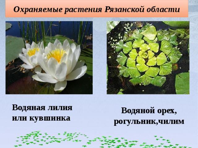 Охраняемые растения Рязанской области Водяная лилия или кувшинка Водяной орех, рогульник,чилим
