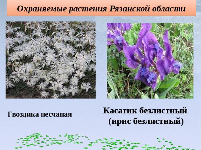 Охраняемые растения Рязанской области Касатик безлистный  (ирис безлистный) Гвоздика песчаная