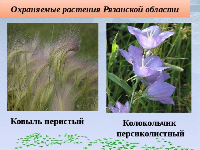 Охраняемые растения Рязанской области Ковыль перистый Колокольчик персиколистный