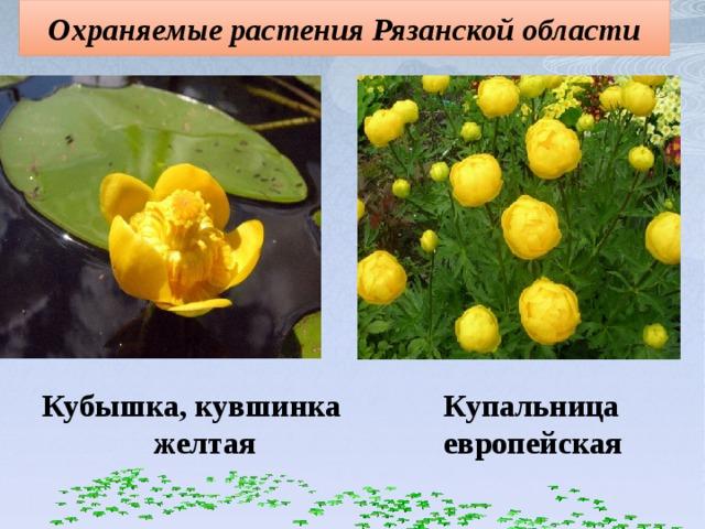 Охраняемые растения Рязанской области Купальница Кубышка, кувшинка желтая европейская