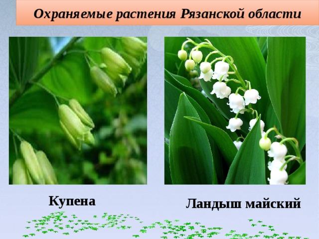 Охраняемые растения Рязанской области Купена Ландыш майский