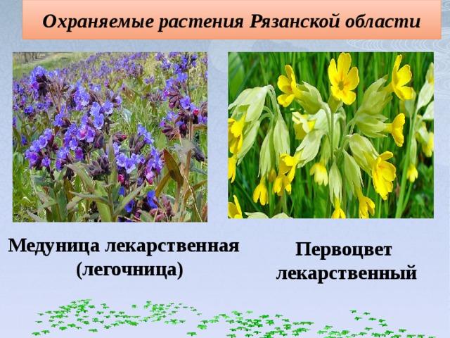 Охраняемые растения Рязанской области Медуница лекарственная (легочница) Первоцвет лекарственный