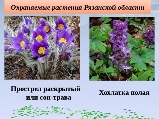 Охраняемые растения Рязанской области Прострел раскрытый или сон-трава Хохлатка полая