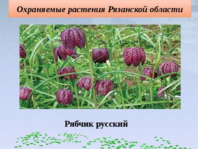 Охраняемые растения Рязанской области Рябчик русский