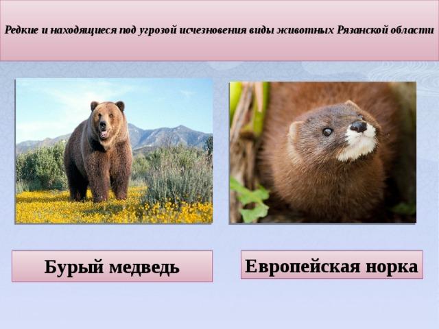 Редкие и находящиеся под угрозой исчезновения виды животных Рязанской области   Европейская норка Бурый медведь