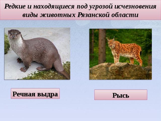 Редкие и находящиеся под угрозой исчезновения виды животных Рязанской области   Речная выдра Рысь