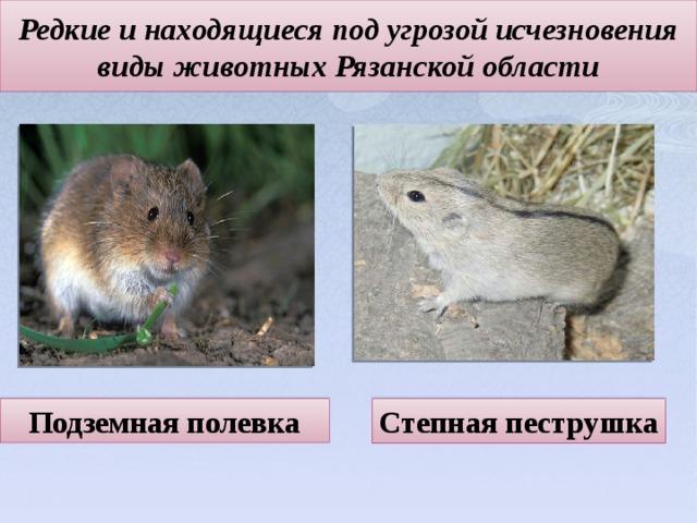 Редкие и находящиеся под угрозой исчезновения виды животных Рязанской области   Степная пеструшка Подземная полевка