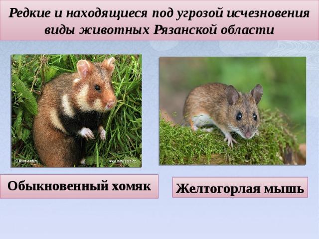 Редкие и находящиеся под угрозой исчезновения виды животных Рязанской области   Обыкновенный хомяк Желтогорлая мышь