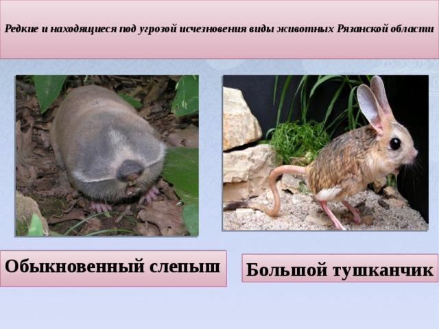 Редкие и находящиеся под угрозой исчезновения виды животных Рязанской области   Обыкновенный слепыш Большой тушканчик