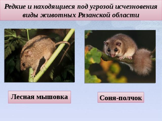 Редкие и находящиеся под угрозой исчезновения виды животных Рязанской области Лесная мышовка Соня-полчок