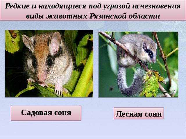 Редкие и находящиеся под угрозой исчезновения виды животных Рязанской области Садовая соня Лесная соня