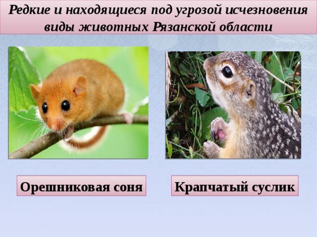 Редкие и находящиеся под угрозой исчезновения виды животных Рязанской области Орешниковая соня Крапчатый суслик