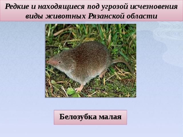 Редкие и находящиеся под угрозой исчезновения виды животных Рязанской области Белозубка малая
