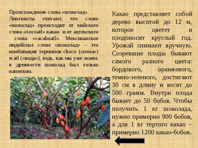 Какао представляет собой дерево высотой до 12 м, которое цветет и плодоносит круглый год. Урожай снимают вручную. Созревшие плоды бывают самого разного цвета: бордового, оранжевого, темно-зеленого, достигают 30 см в длину и весят до 500 грамм. Внутри плода бывает до 50 бобов. Чтобы получить 1 кг шоколада, нужно примерно 900 бобов, а для 1 кг тертого какао – примерно 1200 какао-бобов. Происхождение слова «шоколад». Лингвисты считают, что слово «шоколад» происходит от майского слова «xocoatl» какао и от ацтекского слова «cacahuatl». Мексиканское индийское слово «шоколад» – это комбинация терминов choco («пена») и atl («вода»), ведь, как мы уже знаем, в древности шоколад был только напитком.