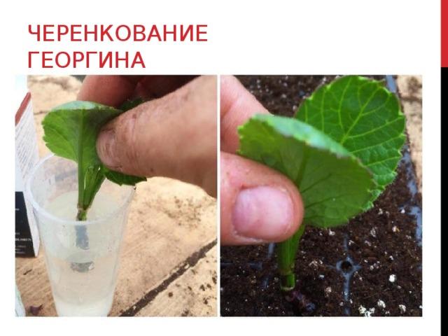 Черенкование георгина
