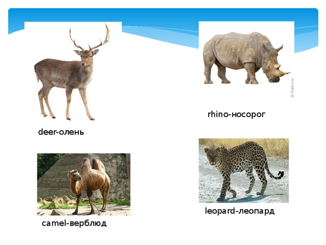 rhino- носорог deer- олень leopard- леопард camel- верблюд