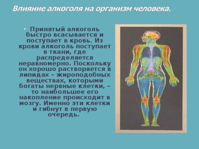 Принятый алкоголь быстро всасывается и поступает в кровь. Из крови алкоголь поступает в ткани, где распределяется неравномерно. Поскольку он хорошо растворяется в липидах– жироподобных веществах, которыми богаты нервные клетки, – то наибольшее его накопление происходит в мозгу. Именно эти клетки и гибнут в первую очередь.