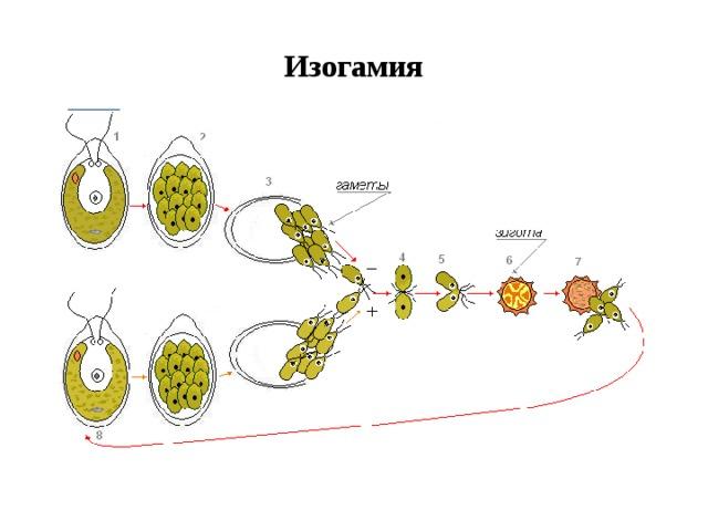 Изогамия
