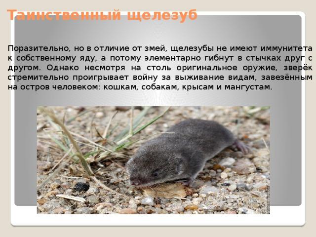 Таинственный щелезуб Поразительно, но в отличие от змей, щелезубы не имеют иммунитета к собственному яду, а потому элементарно гибнут в стычках друг с другом. Однако несмотря на столь оригинальное оружие, зверёк стремительно проигрывает войну за выживание видам, завезённым на остров человеком: кошкам, собакам, крысам и мангустам.