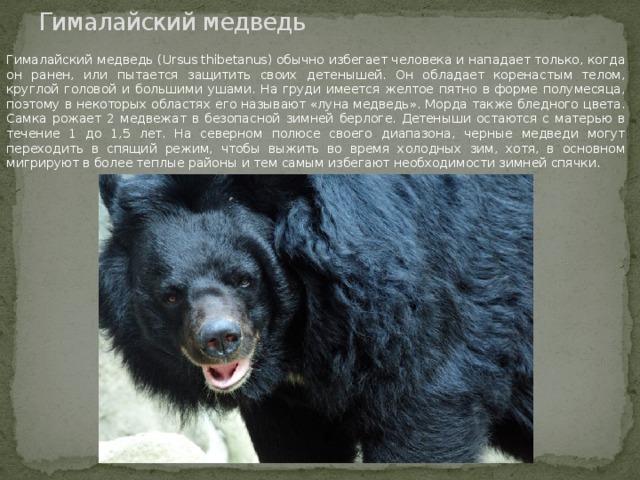 Гималайский медведь Гималайский медведь (Ursus thibetanus) обычно избегает человека и нападает только, когда он ранен, или пытается защитить своих детенышей. Он обладает коренастым телом, круглой головой и большими ушами. На груди имеется желтое пятно в форме полумесяца, поэтому в некоторых областях его называют «луна медведь». Морда также бледного цвета. Самка рожает 2 медвежат в безопасной зимней берлоге. Детеныши остаются с матерью в течение 1 до 1,5 лет. На северном полюсе своего диапазона, черные медведи могут переходить в спящий режим, чтобы выжить во время холодных зим, хотя, в основном мигрируют в более теплые районы и тем самым избегают необходимости зимней спячки.