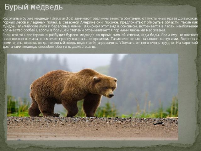 Бурый медведь Косолапые бурые медведи (Ursus arctos) занимают различные места обитания, от пустынных краев до высоких горных лесов и ледяных полей. В Северной Америке они, похоже, предпочитают открытые области, такие как тундры, альпийские луга и береговые линии. В Сибири этот вид в основном, встречается в лесах, наибольшее количество особей Европы в большей степени ограничивается горными лесными массивами. Если кто-то неосторожно разбудит бурого медведя во время зимней спячки, жди беды. Если ему не хватает накопленного жира, он может проснутся раньше времени. Таких животных называют шатунами. Встреча с ними очень опасна, ведь голодный зверь ведет себя агрессивно. Убежать от него очень трудно. На короткой дистанции медведь способен обогнать даже лошадь.