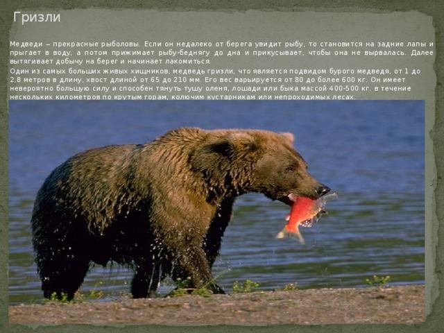 Гризли Медведи ‒ прекрасные рыболовы. Если он недалеко от берега увидит рыбу, то становится на задние лапы и прыгает в воду, а потом прижимает рыбу-беднягу до дна и прикусывает, чтобы она не вырвалась. Далее вытягивает добычу на берег и начинает лакомиться. Один из самых больших живых хищников, медведь гризли, что является подвидом бурого медведя, от 1 до 2,8 метров в длину, хвост длиной от 65 до 210 мм. Его вес варьируется от 80 до более 600 кг. Он имеет невероятно большую силу и способен тянуть тушу оленя, лошади или быка массой 400-500 кг. в течение нескольких километров по крутым горам, колючим кустарникам или непроходимых лесах.