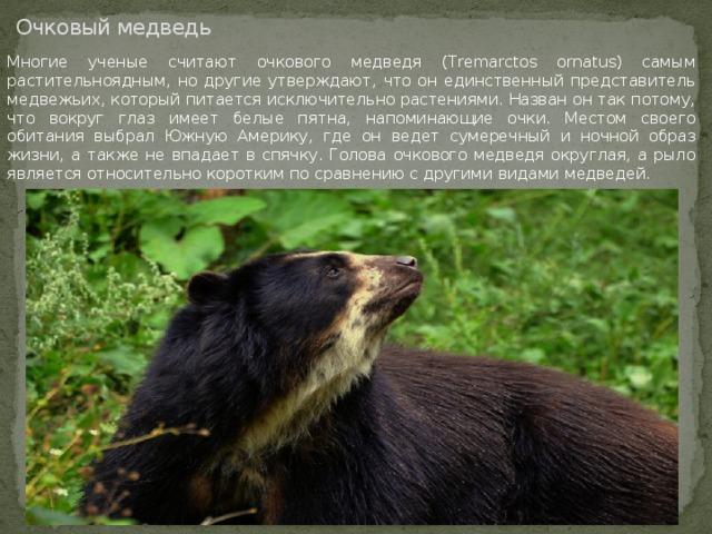 Очковый медведь Многие ученые считают очкового медведя (Tremarctos ornatus) самым растительноядным, но другие утверждают, что он единственный представитель медвежьих, который питается исключительно растениями. Назван он так потому, что вокруг глаз имеет белые пятна, напоминающие очки. Местом своего обитания выбрал Южную Америку, где он ведет сумеречный и ночной образ жизни, а также не впадает в спячку. Голова очкового медведя округлая, а рыло является относительно коротким по сравнению с другими видами медведей.
